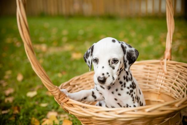 Perro de raza dálmata en un hermoso retrato a pie