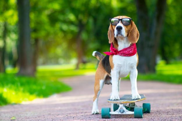 El perro de la raza es cierto, anda en el parque pero en longboard. paseos de mascotas, aprende a andar en patineta en el parque.