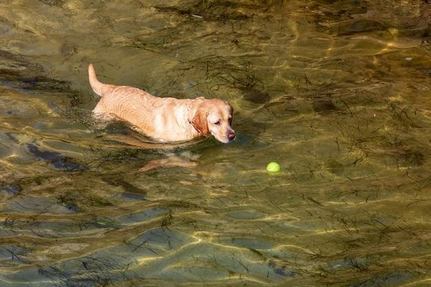 Perro de raza labrador retriever. primer plano. pelo corto y ligero. jugando en el agua (mar) con la pelota en un día soleado.
