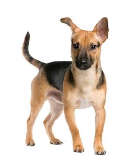 Perro de raza mixta entre un jack russel y un pinscher con 7 meses.