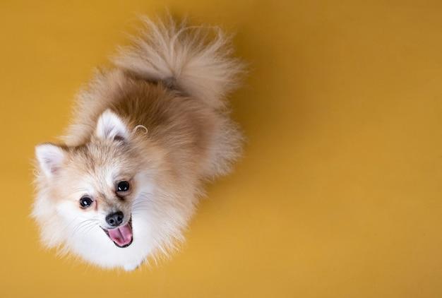 Perro de raza pomerania mirando hacia arriba