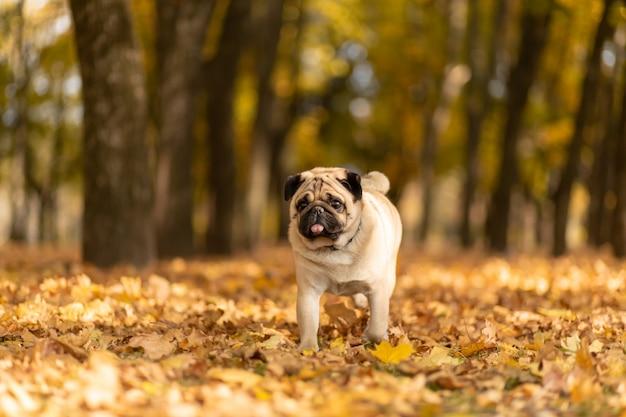 Un perro de la raza pug camina en el parque de otoño a lo largo de las hojas amarillas contra los árboles y el bosque de otoño.