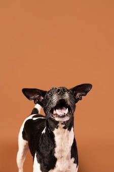 Perro de raza pura siendo adorable en un estudio.