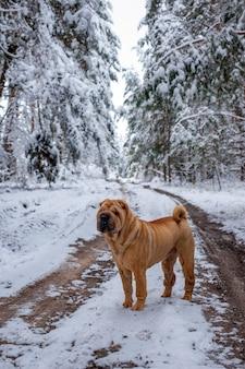 Perro de raza sharpei en el camino en el bosque de invierno