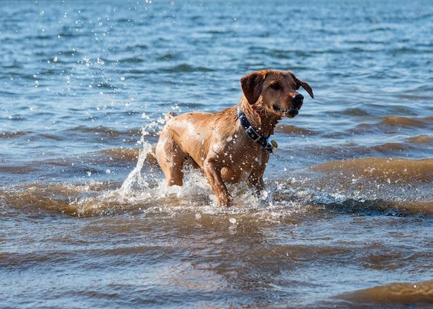 Perro rojo corriendo y jugando en el agua