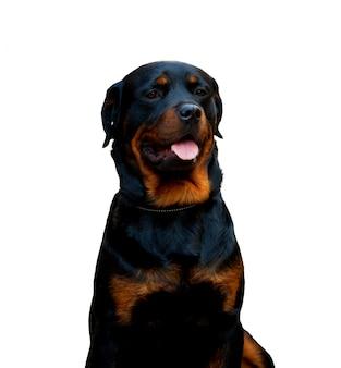 Perro rottweiler aislado sobre fondo blanco