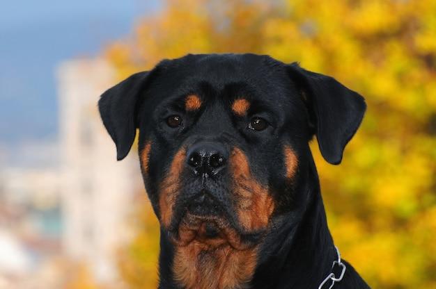 Perro rottweiler de raza pura