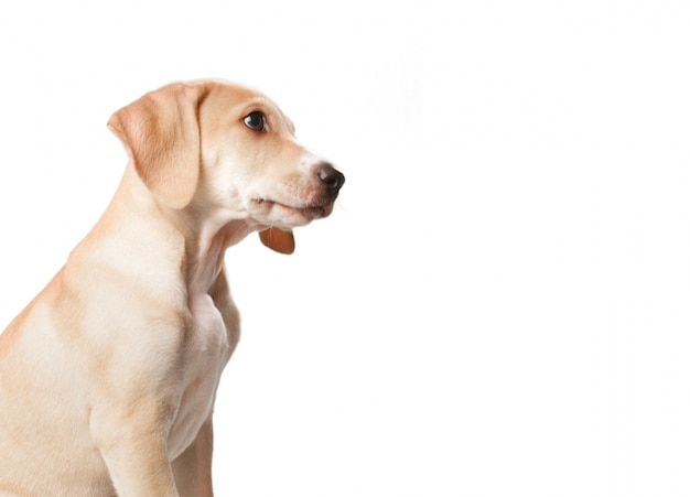 Perro rubio de pelo corto con la boca cerrada