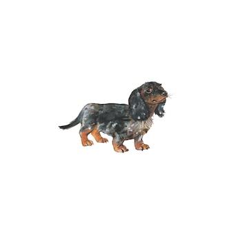 Perro salchicha acuarela, perro tejón alemán. retrato de mascota realista dibujado a mano sobre fondo blanco.