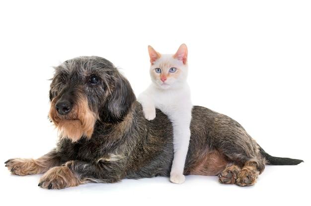 Perro salchicha y gatito