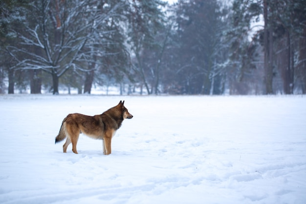 Perro salvaje en la nieve en el bosque