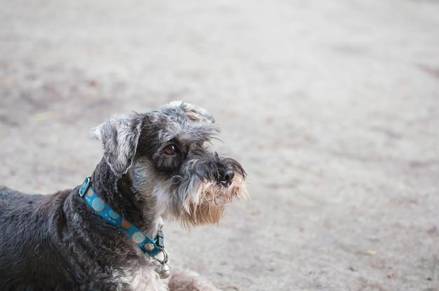 Perro del schnauzer del primer que mira en piso borroso del cemento delante del fondo de la opinión de la casa