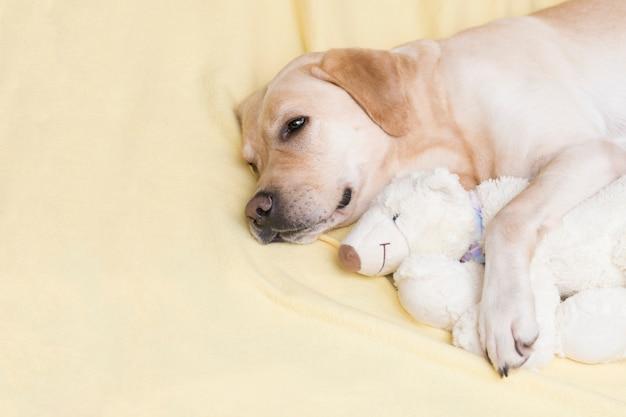 Perro sobre una tela escocesa amarilla con osito de peluche