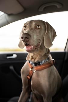 Perro sonriente sentado en el coche