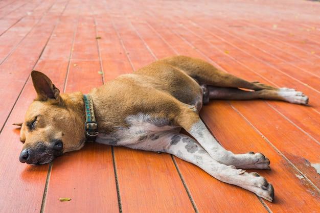 Perro tailandés sin hogar marrón duerme en el piso