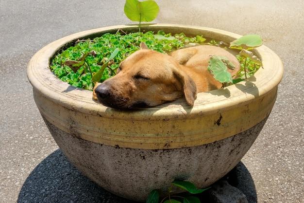 Perro tailandés marrón que duerme en la cuenca lotus con el clima es caluroso y sofocante