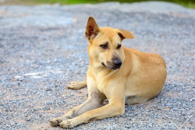 Perro tailandés en el piso de la naturaleza en tailandia