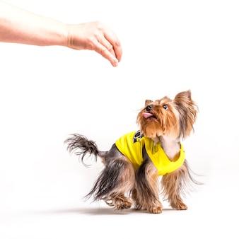 El perro del terrier de yorkshire que mira la mano de la persona sobre el fondo blanco