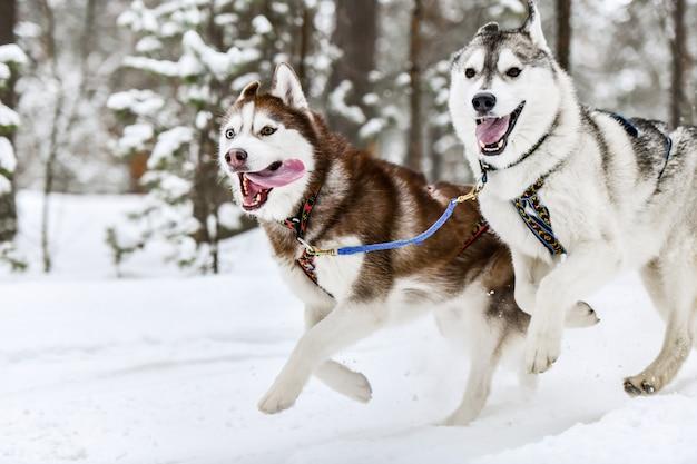 Perro de trineo husky corriendo