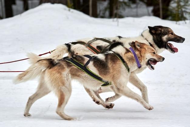 Perro de trineo husky mushing en invierno
