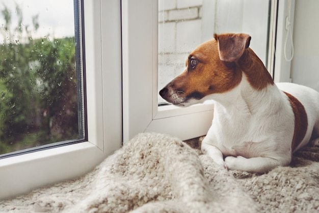 El perro triste está acostado en la ventana y está esperando al dueño.