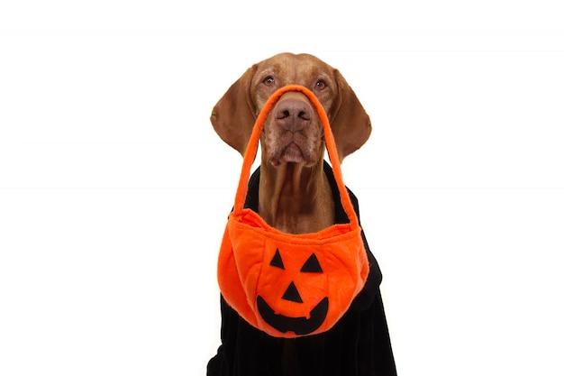 Perro truco o trato de halloween con bolsa de calabaza y vestido negro.