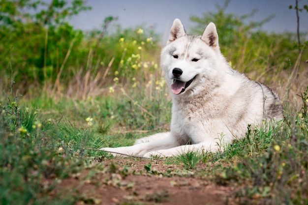 Perro está tumbado en la hierba. retrato de un husky siberiano. de cerca. descansando con un perro en la naturaleza. paisaje con un río.