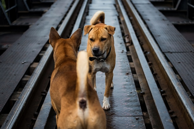 Perros agresivos miran y pelean en el ferrocarril
