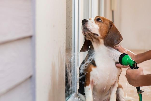 Los perros beagle se están bañando, limpiando el cuerpo.