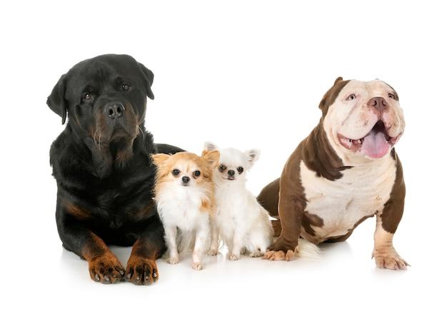 Perros en el estudio