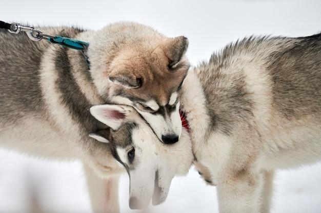 Perros husky jugando en la nieve