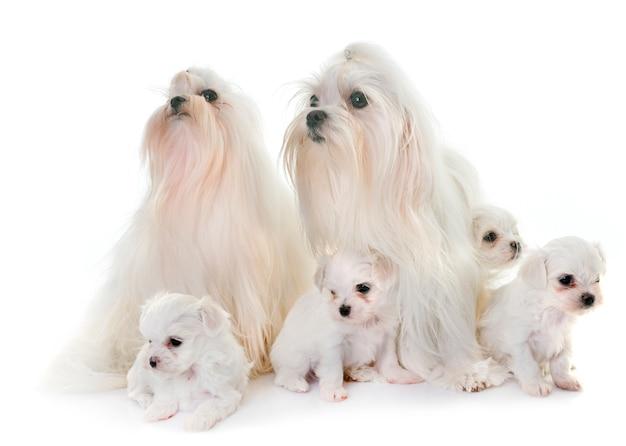 Perros malteses de la familia