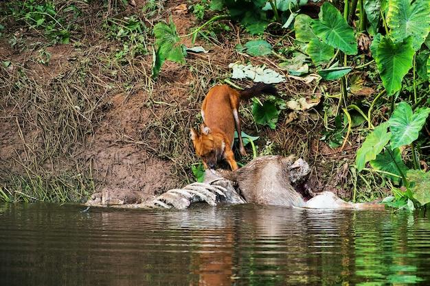 Perros salvajes asiáticos comiendo un cadáver de venado