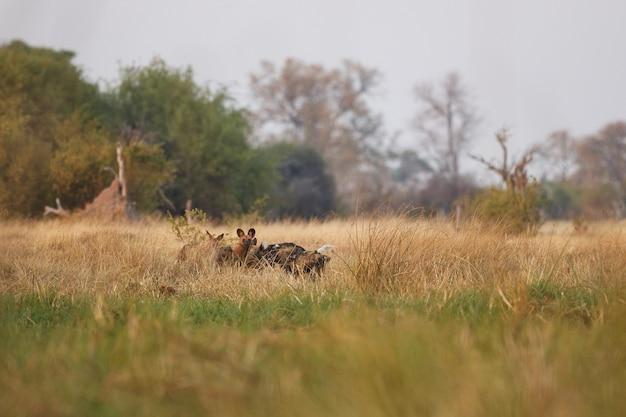 Perros salvajes cazando impalas desesperados