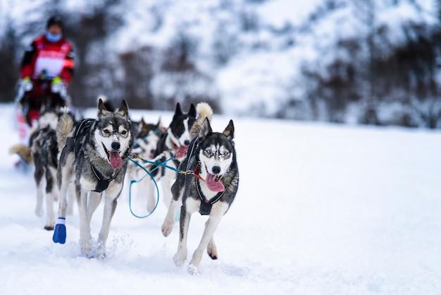 Perros de trineo en carreras de velocidad