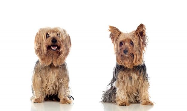 Perros yorkshire posando