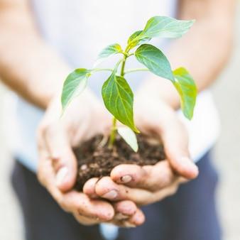 Persona de la cosecha que muestra el árbol joven