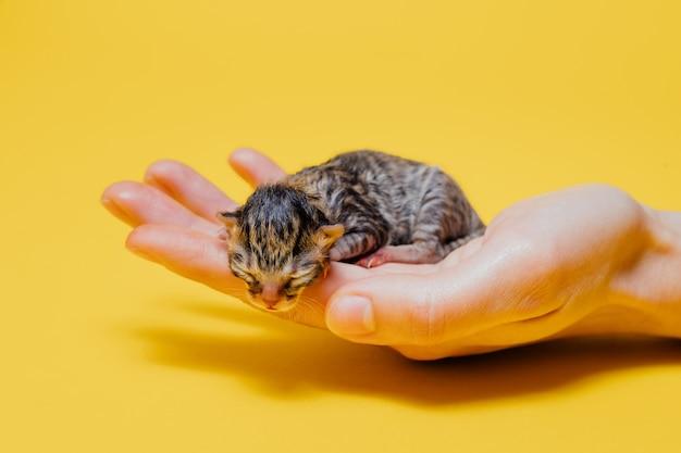 Persona de cultivo con gatito recién nacido en pared amarilla