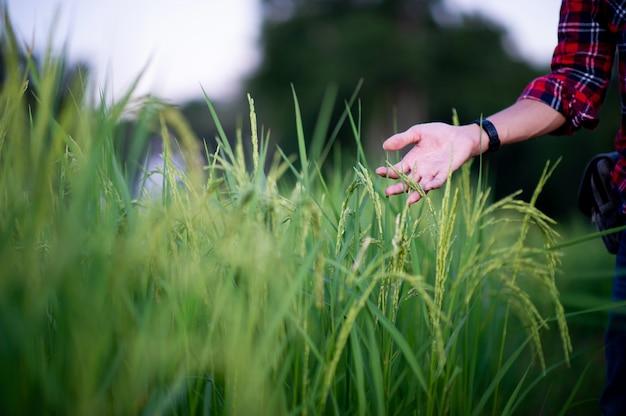 Persona tocando plantas de arroz de jazmín en el campo