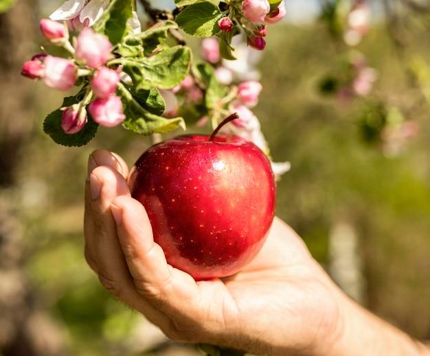 Persona tomando una deliciosa manzana del árbol