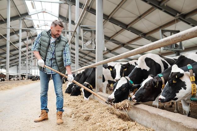 El personal joven de la granja lechera de pie junto a una larga fila de vacas lecheras detrás de la valla y dándoles heno fresco para comer
