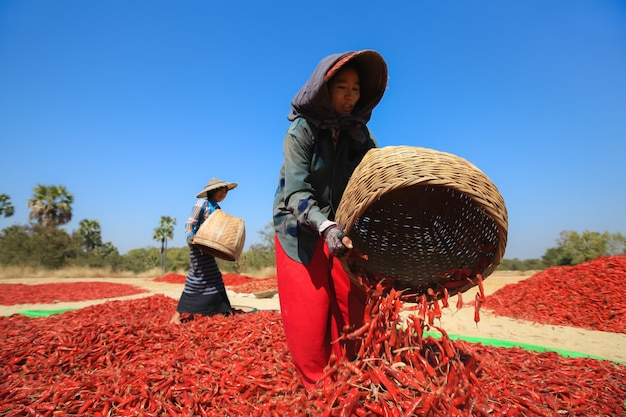 Las personas recogiendo chile seco en un campo en bagan, myanmar