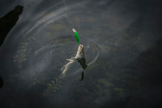 El pescado atrapado en el anzuelo apareció en la superficie del agua