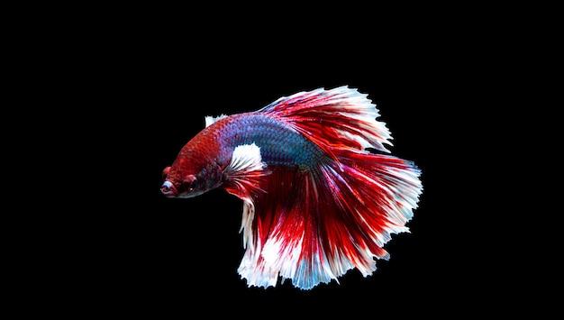 El pescado de tailandia es colorido sobre fondo negro