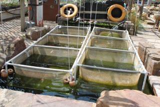 Peces koi fotos y vectores gratis for Vivero para peces