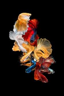Pescados de betta o pescados que luchan siameses aislados en fondo negro. concepto fino de diseño del arte.
