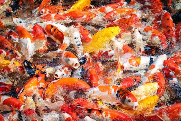 Pescados coloridos de koi en la charca.