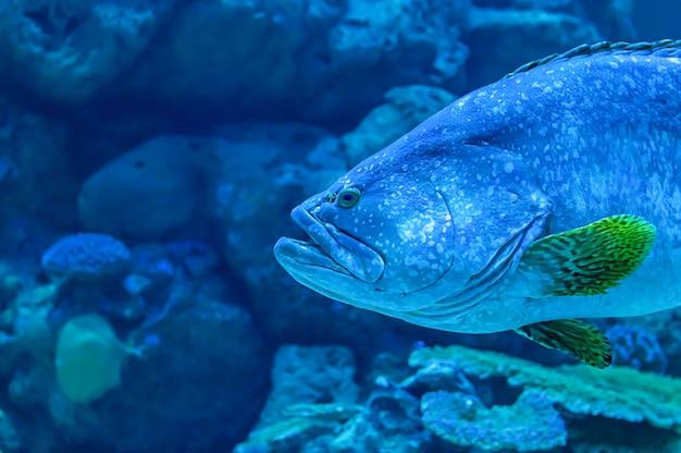Pescados coloridos o lanceolatus del epinephelus en el fondo del mar el coral, tailandia.