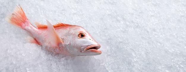 Pescados y mariscos frescos de pargo rojo entero sin cocer en hielo con copia a ritmo