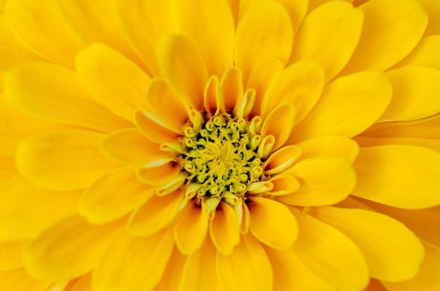 Pétalos amarillos de la flor con un modelo borroso del fondo.